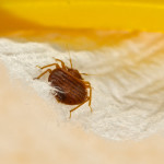 bed bugs removel